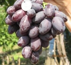 Виноград каталония: описание сорта, фото, отзывы
