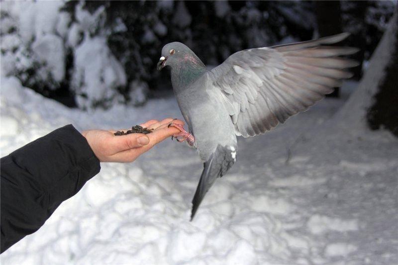 Родотиум для голубей: описание препарата, инструкция — selok.info