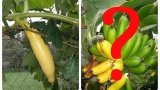 Тыква розовый банан: описание сорта и правила ухода