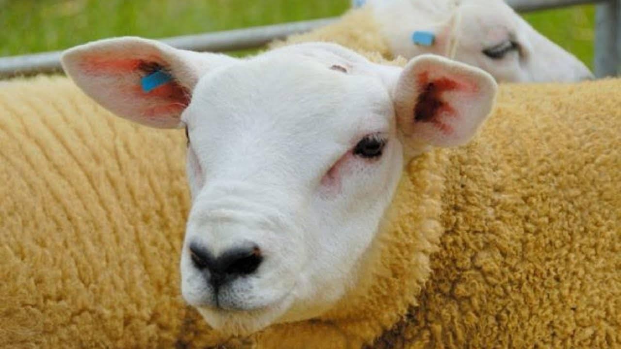 Описание и характеристики овец породы суффолк, особенности содержания
