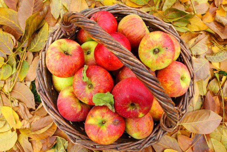 Как сохранить свежие яблоки на зиму в домашних условиях подольше? русский фермер