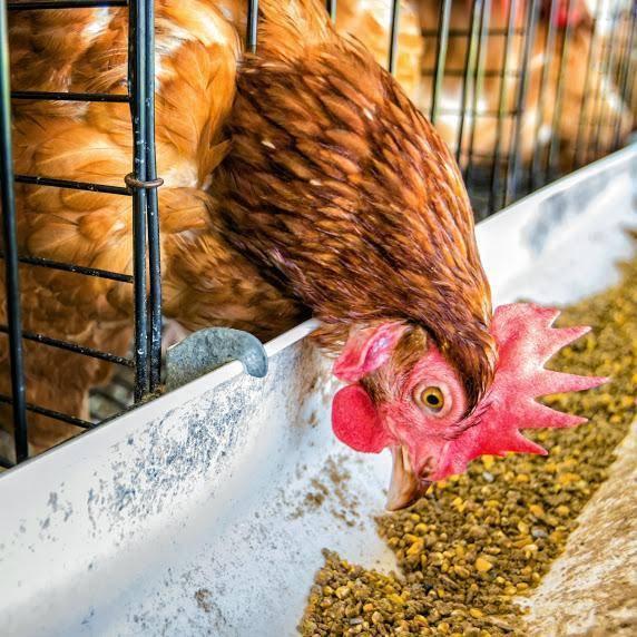 Можно ли кормить кур несушек хлебом: все аргументы за и против, советы можно ли кормить кур несушек хлебом: все аргументы за и против, советы