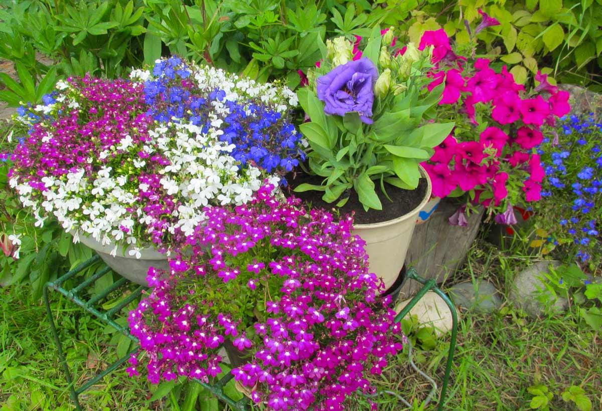 Лобелия: посадка, выращивание и уход