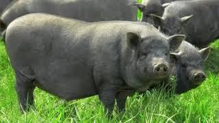 Особая порода свиней — кармалы