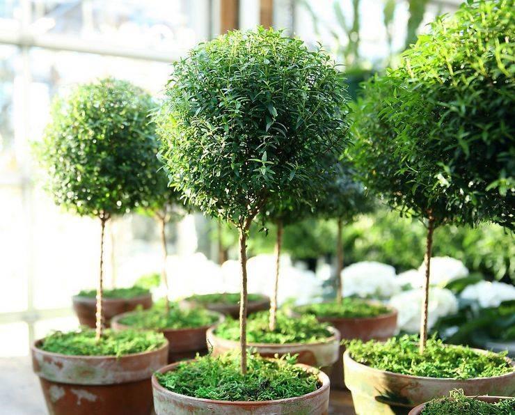 Миртовое дерево: уход в домашних условиях, полезные свойства, приметы и суеверия, сохнет что делать, фото растения.