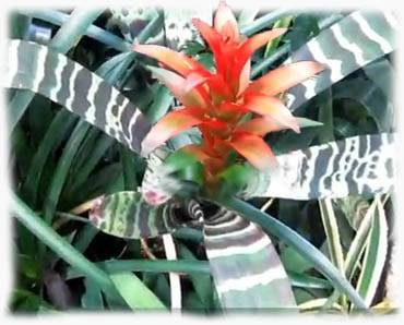 Бромелия — уход в домашних условиях, полив и размножение
