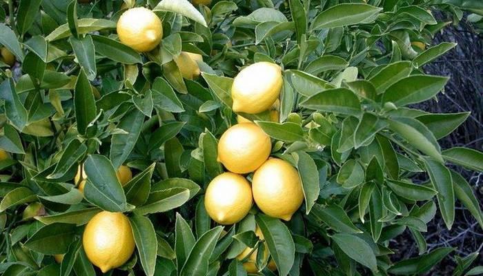 Сорт лимонов лунарио