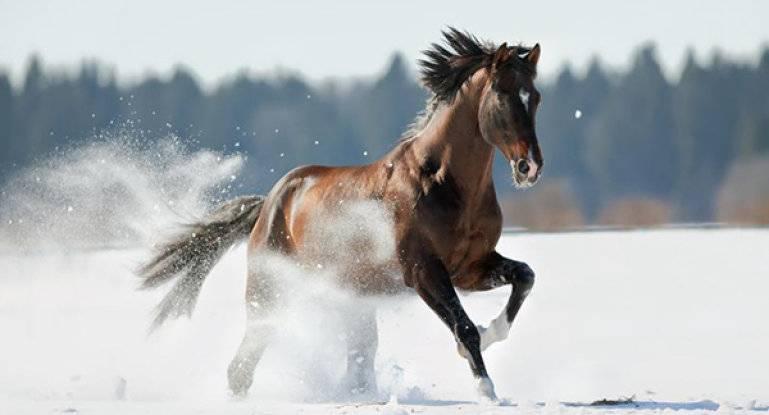 Особенности тракененской спортивной породы лошадей