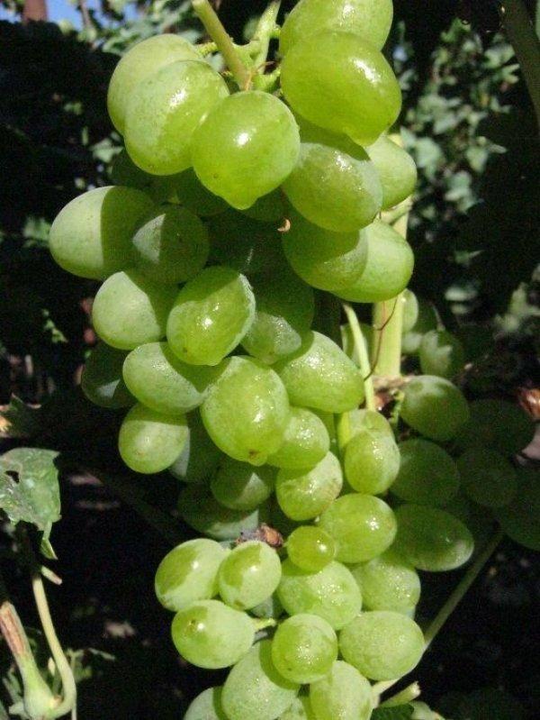 Виноград элегант - характеристика, способ выращивания, болезни