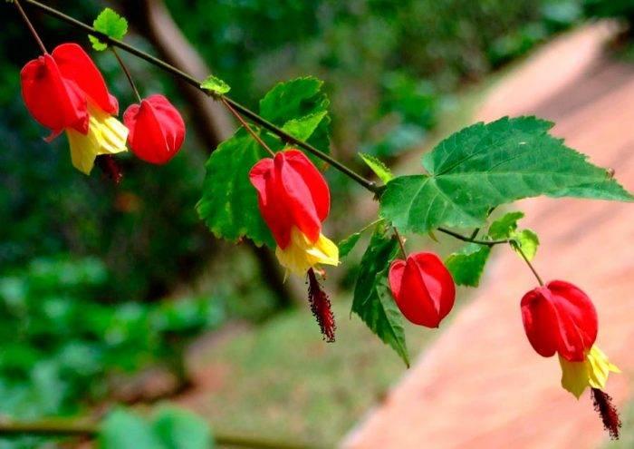 Виды с фото и описанием растения – абутилон