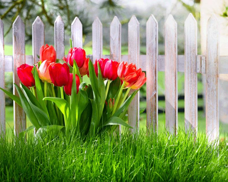 Тюльпаны: пересадка после цветения, когда сажать в открытый грунт осенью