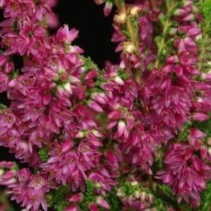 Растение вереск: описание, фото, посадка и уход