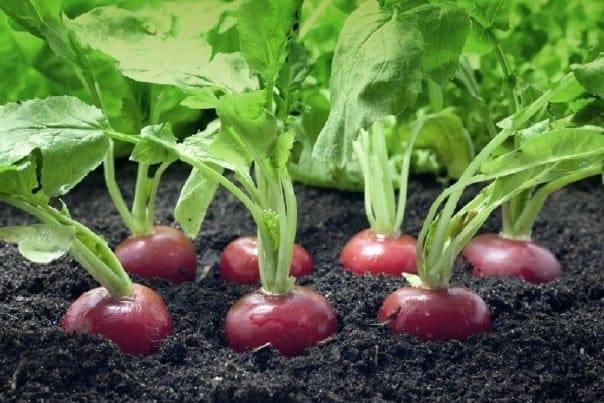Выращивание редиса в теплице посадка и уход, описания, характеристики и фото все о посадке и выращивании