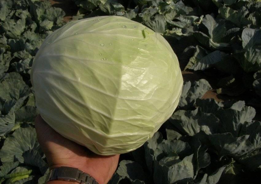 Выращивание капусты мензания - мыдачники