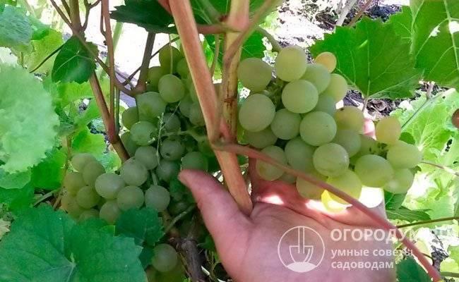 Виноград светлана. виноград светлана описание