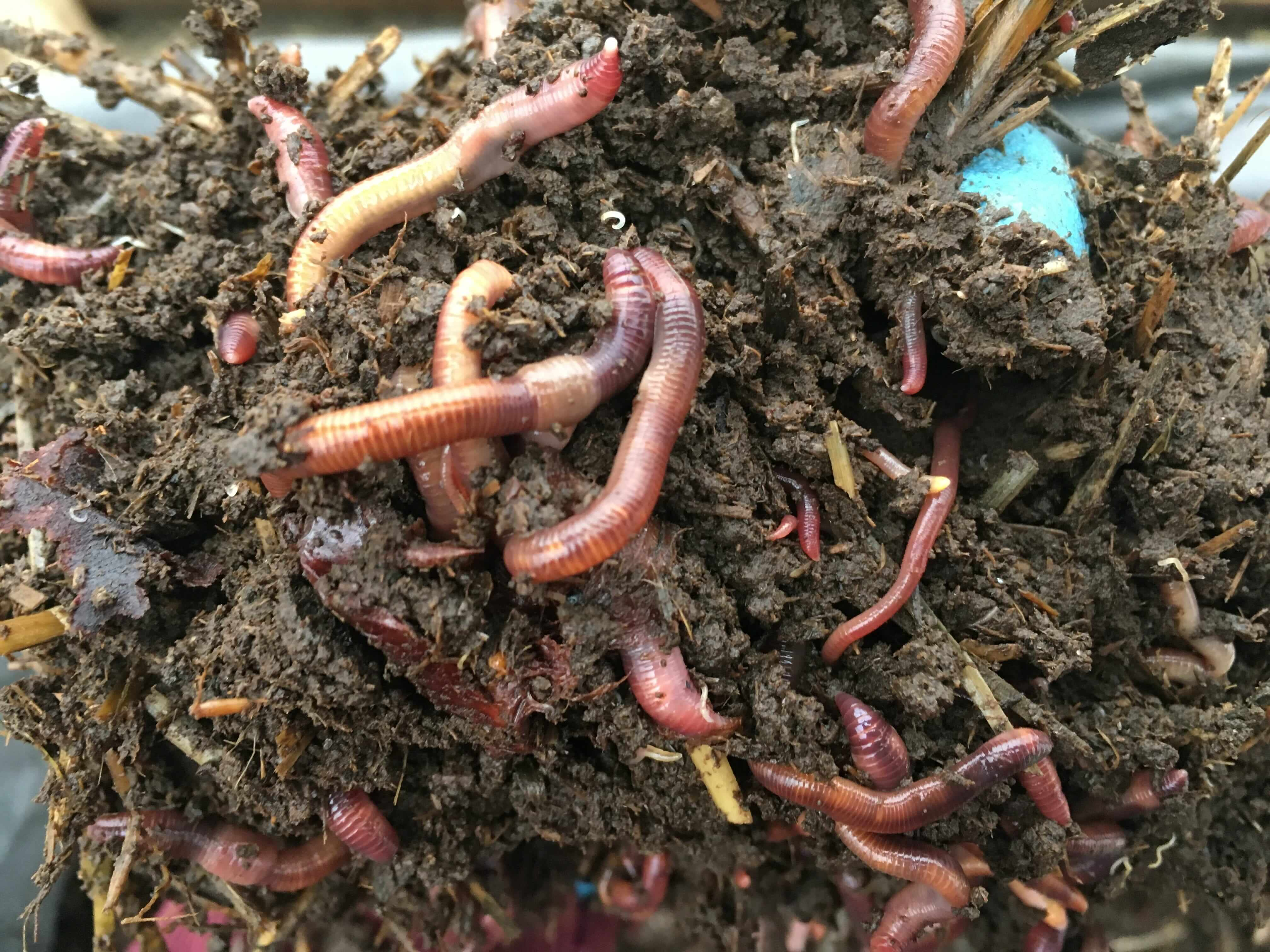 Калифорнийские черви для получения биогумуса — разведение в домашних условиях для начинающих