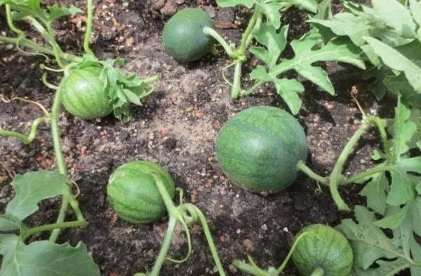 Кабачки - выращивание, уход, сбор и хранение урожая