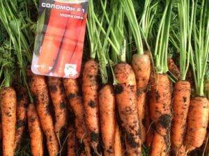 Морковь самсон: характеристика сорта, фото, отзывы, описание