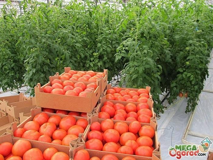 Схема посадки высокорослых томатов в теплицы: как вырастить помидоры в таких условиях, а также существующие сорта и виды розового и красного овоща русский фермер