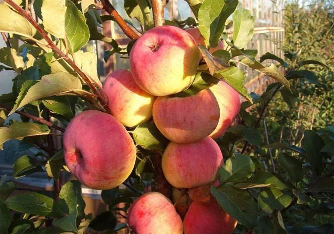 Яблоня уэлси: фото, описание сорта и его характеристики