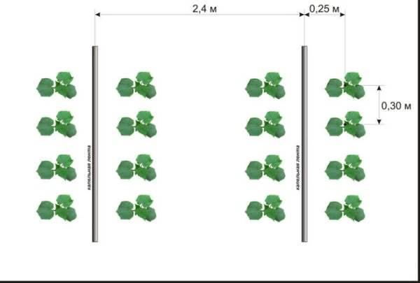 Посадка огурцов: как правильно сажать, способы и схемы + видео