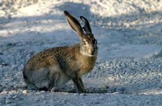 Описание зайца: виды с фото, внешний вид, строение, образ жизни и интересные факты