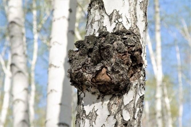 Чага или березовый гриб – суперфуд долголетия. в чем его польза и вред. как употреблять
