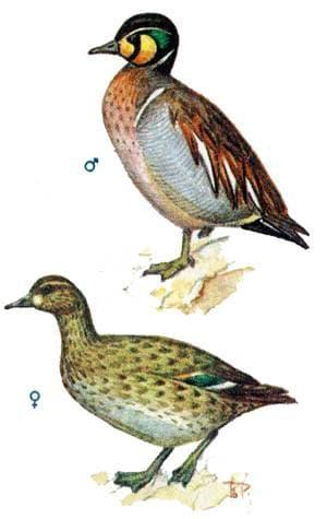 Как выглядит утка чирок. описание и характеристики охотничьего вида