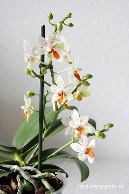Уход за орхидеей мини фаленопсис в домашних условиях