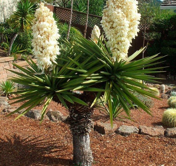 Юкка — цветок для выращивания дома. уход, подкормки, пересадка. сорта, пригодные для разведения