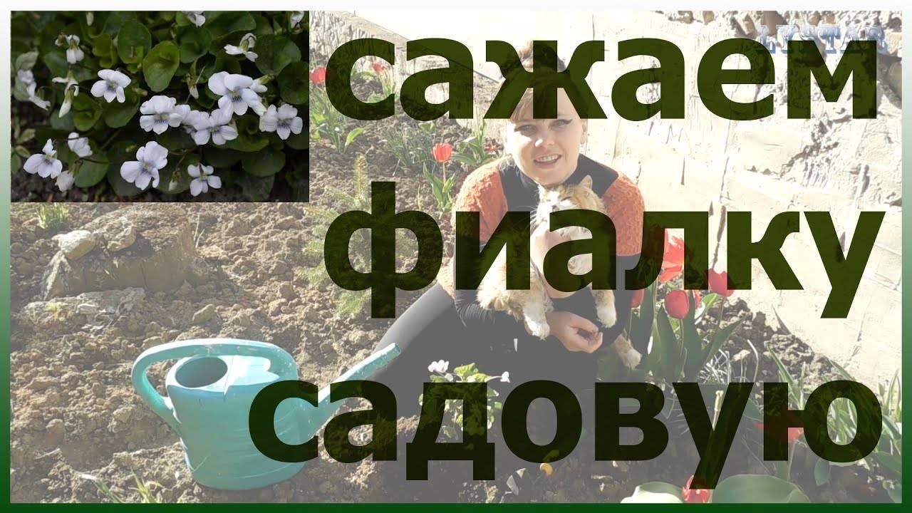 Разновидности фиалки садовой: белая, душистая, мотыльковая, уличные сорта