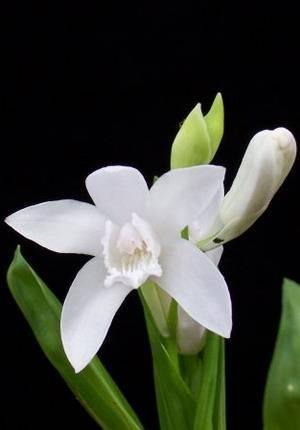 Чудесные белые фаленопсисы: названия сортов и фото
