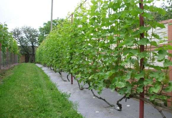 Посадка винограда в 2020 году: сроки, выращивание и уход