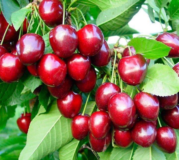 Что требуется знать, при посадке вишни в подмосковье?