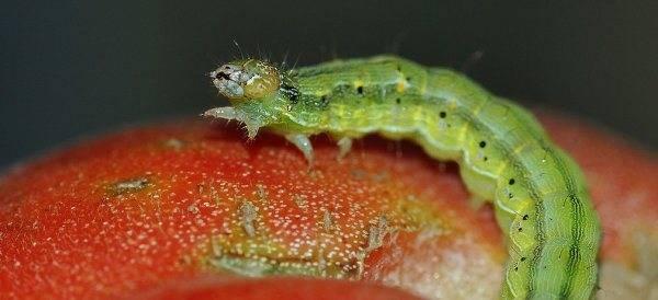 Как бороться с гусеницами на помидорах