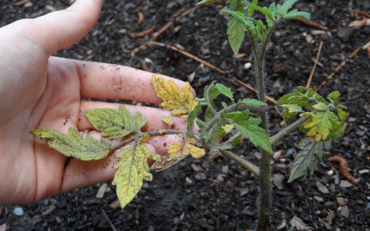 Помидоры желтеют и сохнут листья: что делать, как лечить