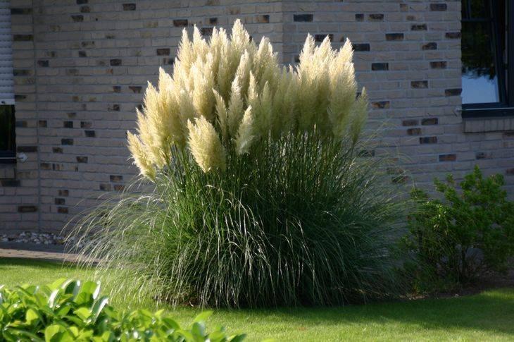 Пампасная трава: посадка и уход, размножение семенами кортадерии. можно ли посеять осенью пампасную траву?