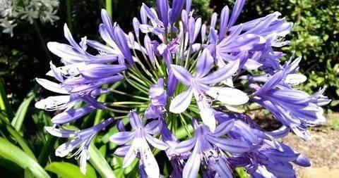 Агапантус: 135 фото растения и пошаговая инструкция по уходу