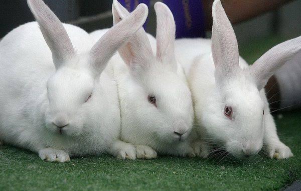 Как определить пол кролика — отличия по гениталиям, телосложению и поведению