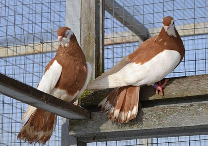 Статные голуби: фото, характеристика, описание породы