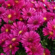 Сентябринки цветы размножение посадка и уход фото | мой сад и огород