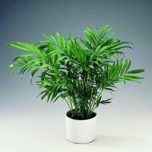 Хамедорея chamaedorea - уход в домашних условиях, полив, подкормка, размножение