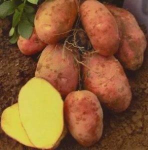 Сорта картофеля для сибири - что рекомендуют специалисты?