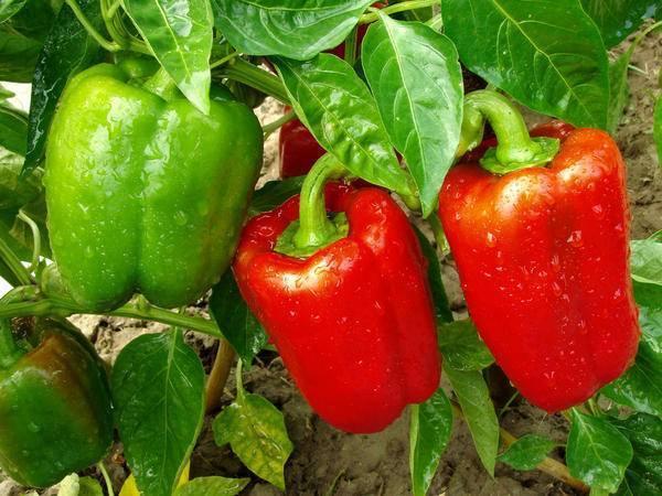Всё про выращивание острого перца на подоконнике: советы и секреты