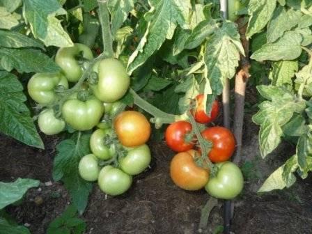 Сорт томатов толстой: 15 кг с одного куста