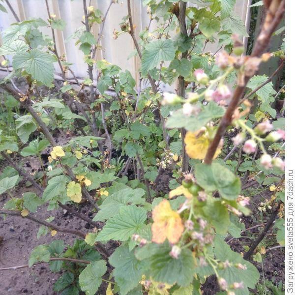 Желтеет листва смородины: ошибки в уходе, лечение и профилактика