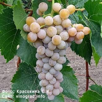 Виноград ливадийский черный: описание сорта, достоинства, технология