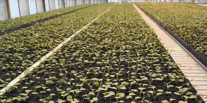 Когда сажать редиску весной в открытый грунт: боится ли заморозков, в какой срок и как правильно можно сеять семенами в подмосковье и других областях? русский фермер