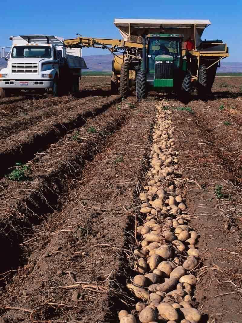 Какова урожайность картофеля с 1 га в россии?