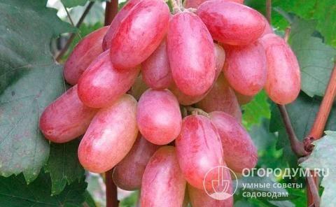Описание столового сорта винограда преображение
